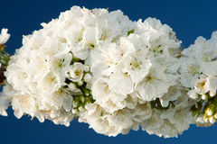 Filial delicada da flor de cereja Fotografia de Stock Royalty Free