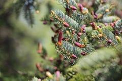 Filial do abeto com cones Fotografia de Stock Royalty Free