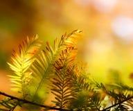 Filial do abeto do outono na luz solar Fotos de Stock Royalty Free