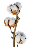Filial do algodão Fotografia de Stock Royalty Free