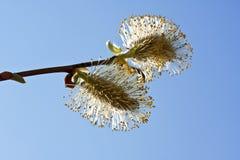 Filial do Bichano-Salgueiro na flor foto de stock royalty free