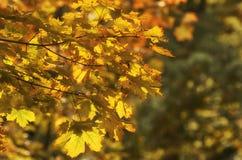 Filial do bordo com folhas amarelas Fotografia de Stock
