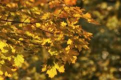 Filial do bordo com folhas amarelas Fotos de Stock Royalty Free