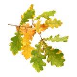 Filial do carvalho do outono Foto de Stock Royalty Free