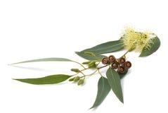 Filial do eucalipto fotografia de stock