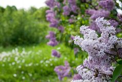 Filial do lilac Foto de Stock Royalty Free