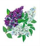 Filial do Lilac Imagens de Stock
