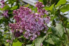 Filial do lilac Fotos de Stock