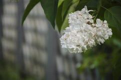 Filial do lilac branco Fotografia de Stock Royalty Free