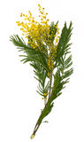 Filial do mimosa (wattle de prata) isolada no branco Fotografia de Stock