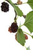 Filial do Mulberry no branco Imagem de Stock