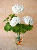 Filial do Pelargonium fotografia de stock royalty free