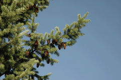 Filial do pinho com os cones no céu azul Fotografia de Stock