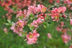 Filial do quince japonês Foto de Stock Royalty Free