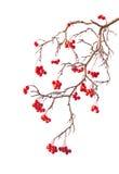 Filial do rowanberry Imagem de Stock Royalty Free
