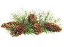 Filial e cones de árvore do pinho Imagens de Stock