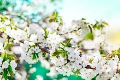 Filial för blomningkörsbärträd på bakgrund för blå himmel på den soliga dagen Blom- bakgrund för vår med små vita blommor Royaltyfri Foto
