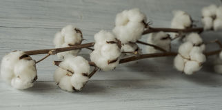 Filial för bomullsbollar Arkivbilder