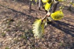 Filial för caprea för Salix för Pussypil med fluffiga knoppar som blomstrar i tidig vår royaltyfri bild