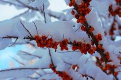 Filial för havsbuckthorn som täckas med snö arkivfoton