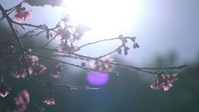 Filial för körsbärsröd blomning och soligt stock video