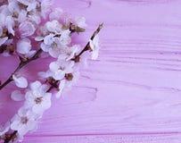 Filial för körsbärsröd blomning på en rosa träbakgrund royaltyfri bild