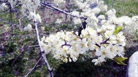 Filial för körsbärsröd blomning på våren Arkivbild