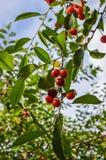 Filial för körsbärsrött träd med körsbär Royaltyfri Fotografi