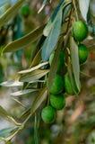 Filial för Olive tree Royaltyfri Fotografi