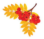 Filial för rönnbär också vektor för coreldrawillustration royaltyfri illustrationer