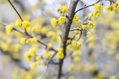 Filial för skogskornellCornuskarneol Royaltyfri Fotografi