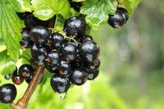 filial för svart vinbär Royaltyfri Fotografi