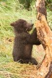 Filial för tuggningar för brunbjörngröngöling av trädet royaltyfri bild