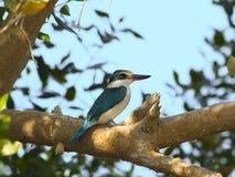 filial försedd med krage kingfisher som sitter den soliga treen Royaltyfri Bild