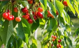 Filial för körsbärsrött träd Arkivbilder