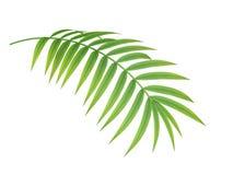 Filial för tropisk växt Fotografering för Bildbyråer