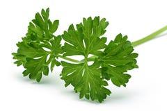 Filial fresca da salsa verde Imagens de Stock