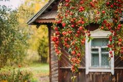 Filial Hung With Red Small Apples på bakgrund av gammalt trä Ho royaltyfria foton