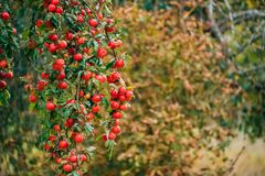 Filial Hung With Ripe Red Apples i Autumn Season royaltyfri fotografi