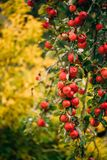 Filial Hung With Ripe Red Apples i Autumn Season arkivfoto