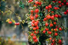Filial Hung With Ripe Red Apples i Autumn Season royaltyfria bilder