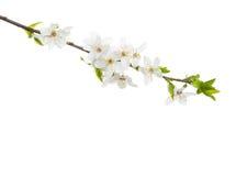 Filial i blomningen som isoleras på vit bakgrund Arkivfoton