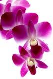 filial isolerad violett white för orchids Royaltyfria Bilder
