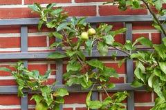 Filial med äpplen på en tegelstenvägg royaltyfria bilder