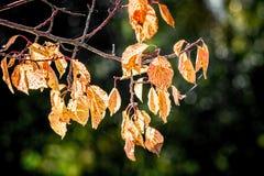 Filial med apelsinsidor mot solen på en klar höstday_ royaltyfri foto
