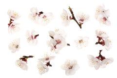 Filial med aprikosblommor som isoleras på vit bakgrund Top beskådar Lekmanna- lägenhet Uppsättning eller samling Arkivbild