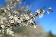 Filial med att blomstra körsbärsröda blommor yellow för fjäder för äng för bakgrundsmaskrosor full Arkivbild