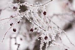 Filial med bär som är fulla av rimfrost Arkivbilder