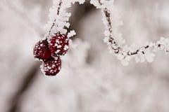 Filial med bär som är fulla av rimfrost Arkivfoto