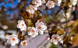Filial med blommor av trädet Royaltyfria Bilder